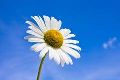 Daisy tegen een blauwe hemel royalty-vrije stock afbeelding