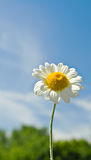 Daisy tegen een blauwe hemel Stock Foto