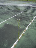 Daisy In Tennis Court Royalty Free Stock Image