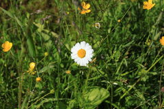 Daisy in a thicket of grass. Photo Single daisy with bright white petals in dense thickets of green grass and yellow flowers Royalty Free Stock Photo