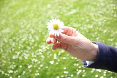 Daisy in the hand of a woman. A daisy of a thousand stock photo