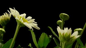 Daisy Time-lapse stock video footage