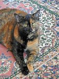 Daisy the tortoiseshell cat Royalty Free Stock Photos