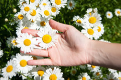 Daisy touch Royalty Free Stock Images