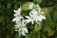 Daisy Tree, Montanoa guatemalensis stock photo