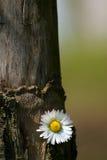 A daisy on tree Royalty Free Stock Image