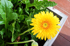 Daisy in tuin Royalty-vrije Stock Afbeeldingen
