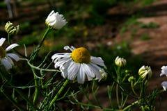 Daisy in tuin dichte omhooggaand Stock Afbeeldingen