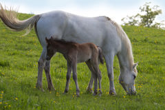 Daisy two days old. The foal is tightly nestled with her mother Stock Photos