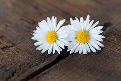 Daisy. Two daisy on a wooden table Royalty Free Stock Photos