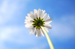 Daisy under blue sky Royalty Free Stock Photo