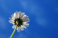 Daisy under blue sky Stock Photos