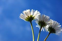 Daisy under blue sky Stock Photo