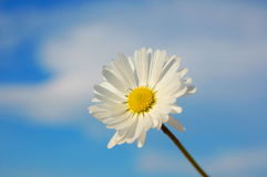 Daisy under blue spring sky Stock Photo