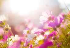 Daisy under sunlight Stock Photo