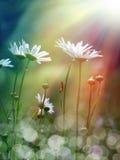 Daisy under the sunshine Stock Photos