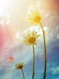 Daisy under the sunshine Stock Image