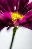Daisy Upclose Stock Photography