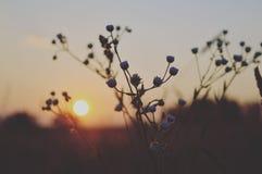 Daisy van de bloemenzonsondergang het dorp van de avond naturel reis stock foto