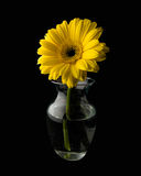 Daisy in a Vase. Bright yellow daisy in a glass vase on a black background royalty free stock image