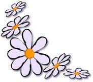 Daisy vector. Five fresh pale daisy flower Royalty Free Stock Image
