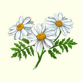 Daisy vector illustration hand drawn painted stock illustration