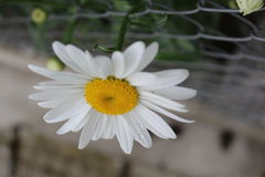 Daisy verscheen buiten de tuin Stock Foto's
