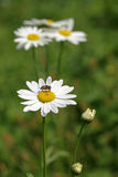 Daisy. Stock Photography