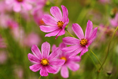 Daisy. Daisy are very common in the temperate regions of Europe, Asia, and America, as well as in northern and southern Africa, and some are naturalised in Stock Image