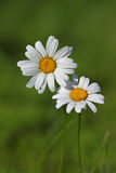 Daisy. Are very common in the temperate regions of Europe, Asia, and America, as well as in northern and southern Africa, and some are naturalised in Australia Stock Photos