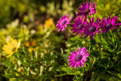 Osteosperma violet in the garden Stock Image
