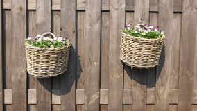 Daisy and violets hanging basket stock photo