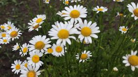 Daisy. The daisy was filmid in Bulgaria Jambol stock video footage