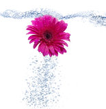 Daisy into the water. A Red daisy into the water on pure background Royalty Free Stock Photos