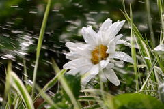 Daisy with water. Garden. Daisy with grass in water royalty free stock images