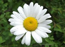 Daisy with water droplets Royalty Free Stock Images
