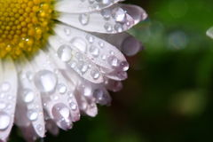 Daisy with water drops. A close-up photo of wet daisy Royalty Free Stock Images