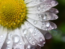 Daisy with water drops. A close-up photo of a wet daisy Stock Images