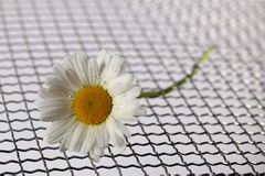 Daisy with water drops on a mat of metal wire meshLeucanthemum vulgare Stock Photo