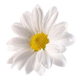 Daisy with water drops on the white background Stock Images