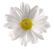 Daisy with water drops on the white background Royalty Free Stock Photos