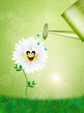 Daisy and watering can Royalty Free Stock Photos