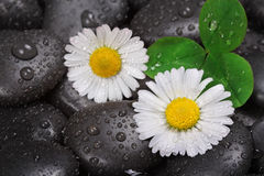 Daisy on wet stones Royalty Free Stock Image