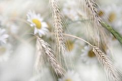 Daisy and wheat Stock Images