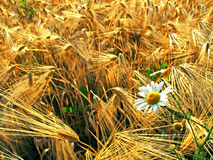 Daisy in a Wheat Field. A daisy growing in a golden field of wheat stock images