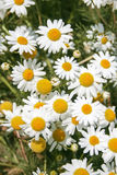 Daisy wheel field Stock Photography