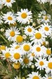 Daisy wheel field Stock Photography