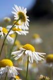 Daisy wheel field Stock Photos