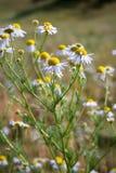 Daisy wheel field Royalty Free Stock Images
