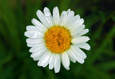 Daisy wheel with water drops Royalty Free Stock Images